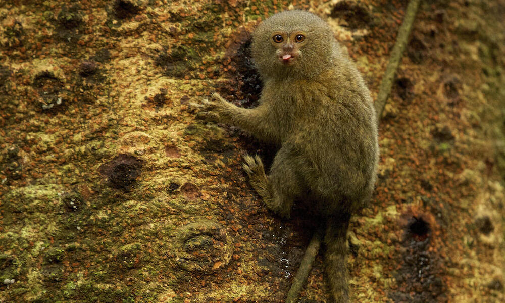 Pygmy Marmoset (Callithrix pygmaea) feeding on sap
