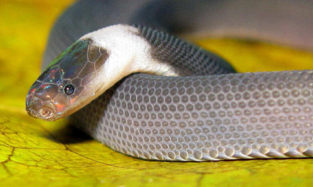 A rainbow-headed snake