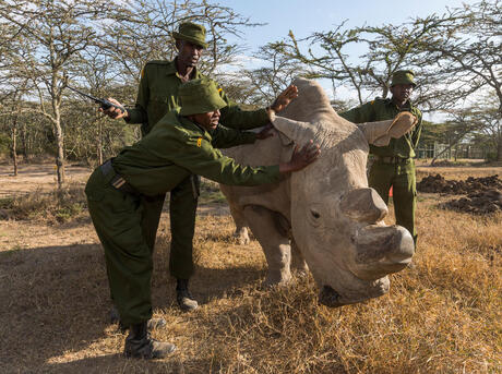 Three rangers tend to a rhino on a sunny day in Kenya