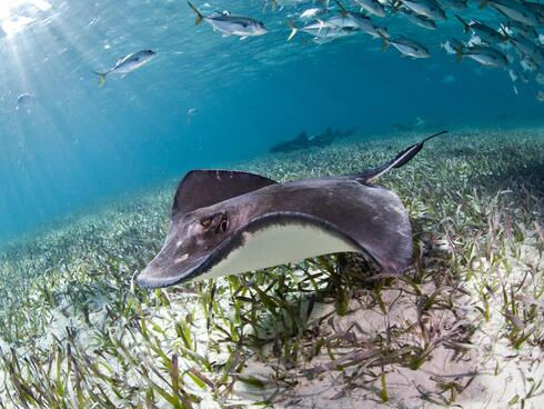 A ray swimming in Belize