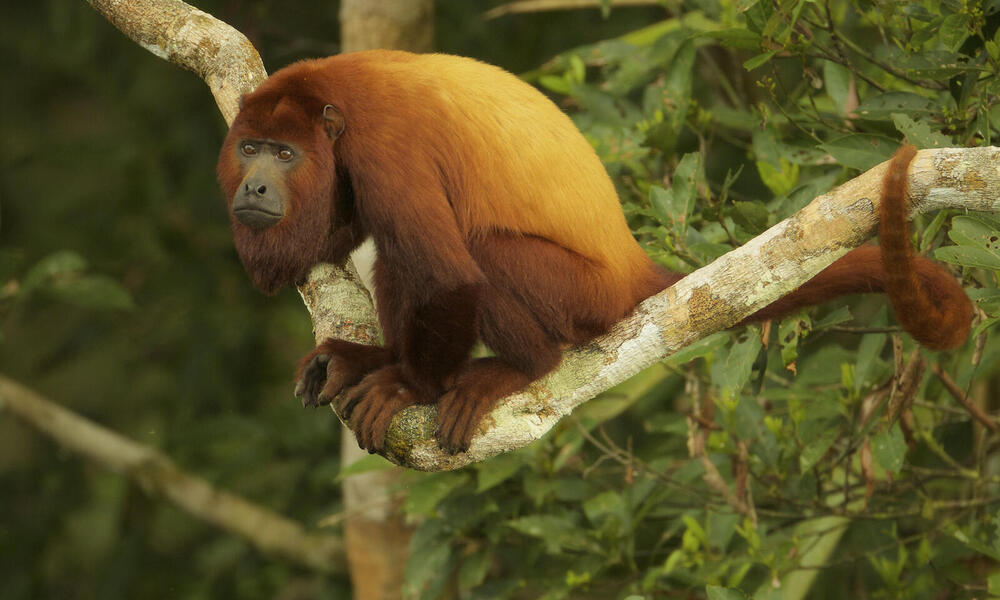 Red Howler Monkey (Alouatta seniculus) near the canopy tower