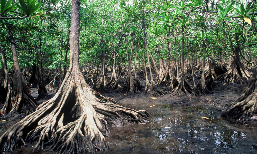 Red mangrove in Colombia.