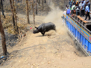 rhino is released into the wild