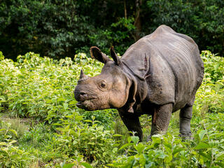 A greater one-horned rhino chews leaves in a verdant area of Nepal
