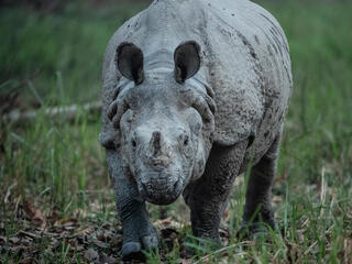 A rhino in Nepal looks directly at the camera on green grass
