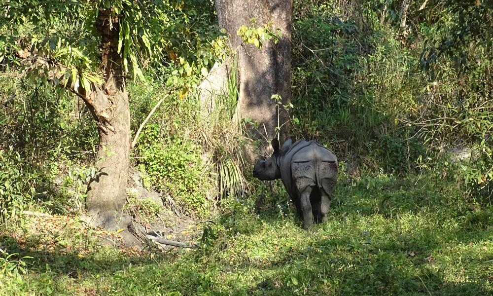 A lone rhino standing in the forest looking back at camera