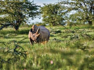 Rhino surrounded by vegetation