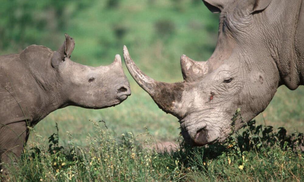 Rhinos touching horns