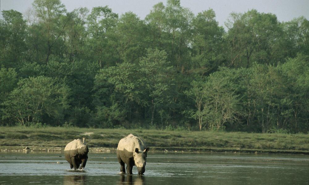 rhinos in water