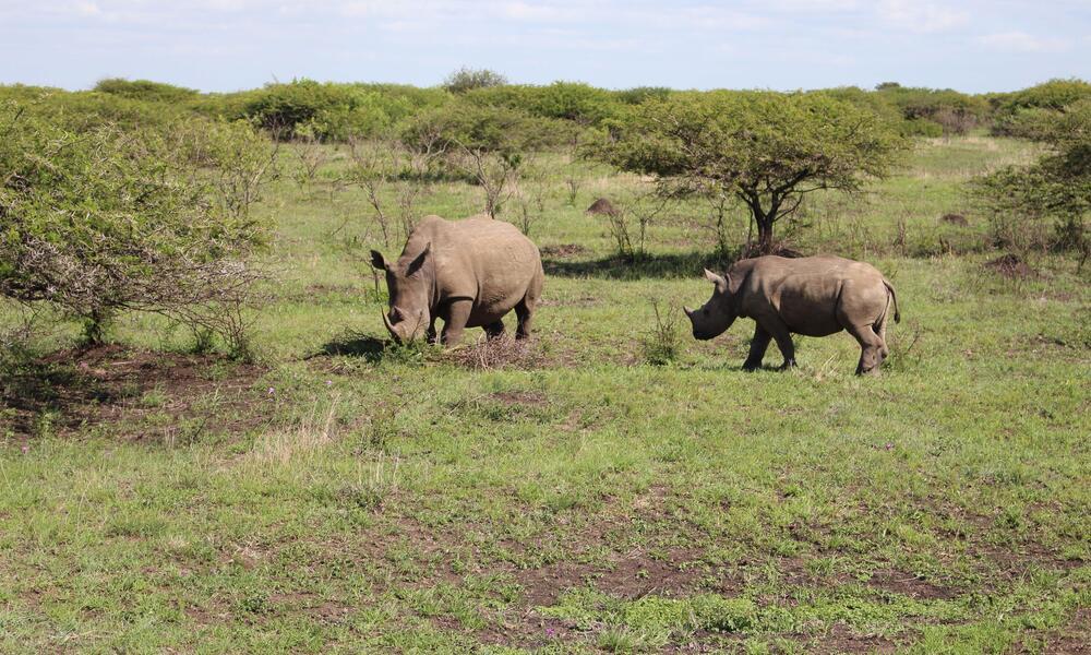 rhinos in field