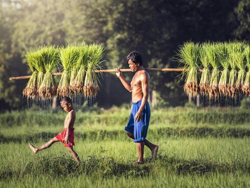 Two farmers harvest rice in the rainy season