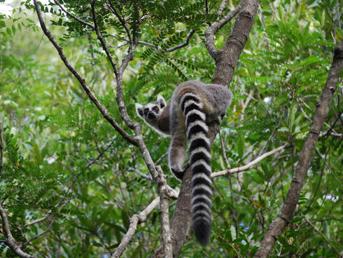 Ring-tailed Lemur in tree