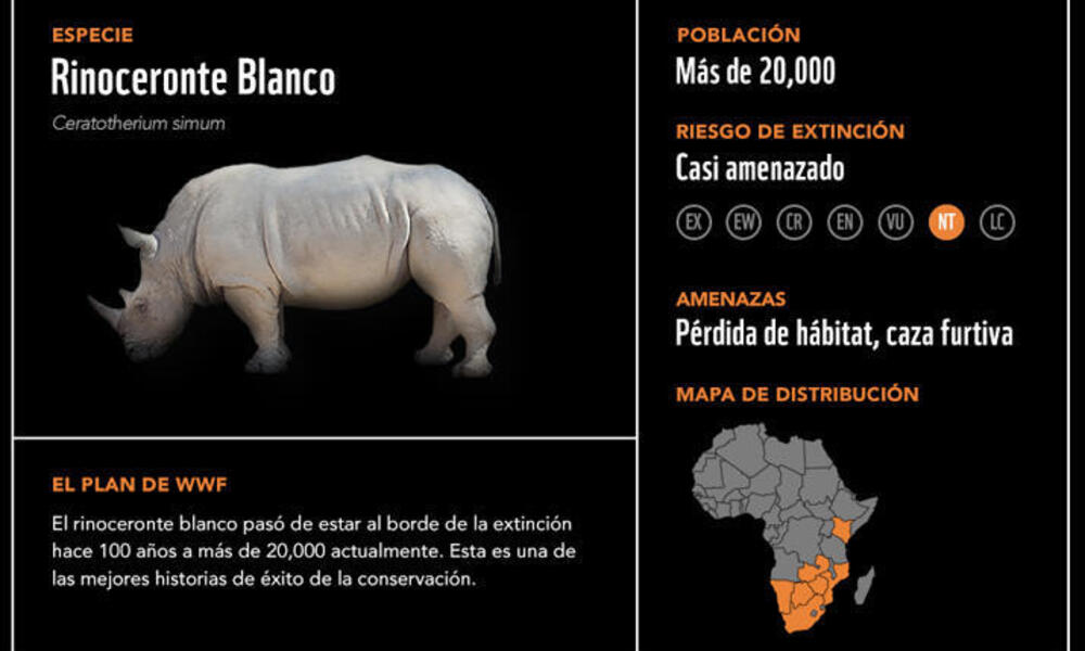 Rinoceronte blanco2