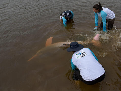 Scientists safely release a tagged river dolphin