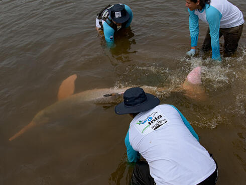 Scientists release a river dolphin back into the water
