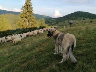 A large tan and black dog shepherds a flock of sheep along a grassy hill with evergreen trees in the background
