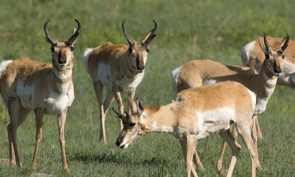 Pronghorn (Antilocapra americana). Custer State Park, South Dakota, United States