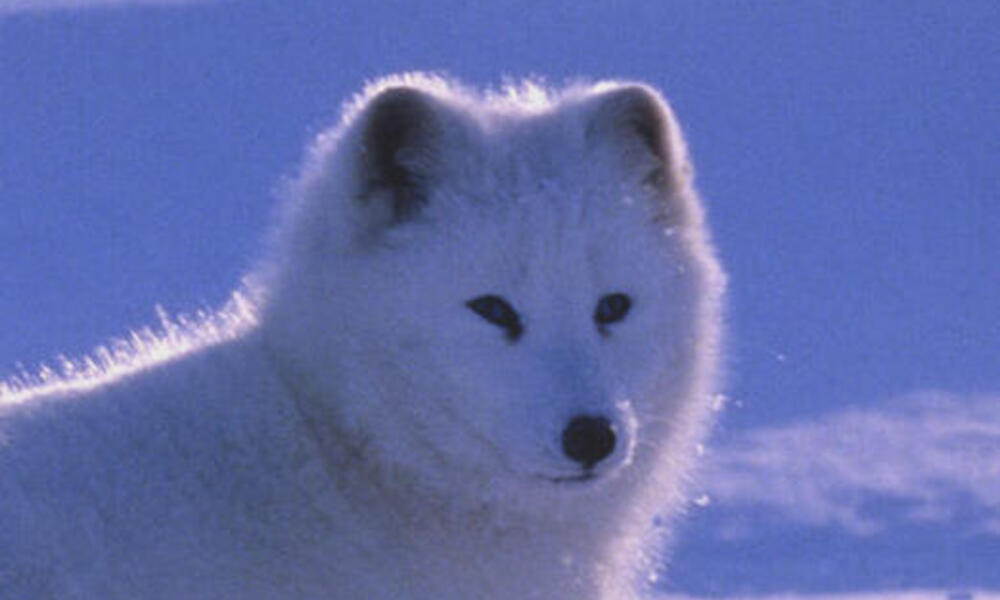 Arctic fox standing in a snow-covered landscape