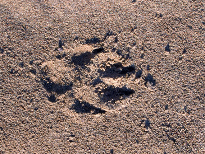 Footprint of an Arctic wolf (Canis lupus arctos) in the central barrens of Nunavut, Canada.