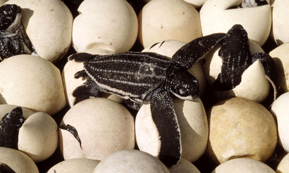 Leatherback turtle (Dermochelys coriacea), nest with eggs hatching. Mapo Beach, French Guiana