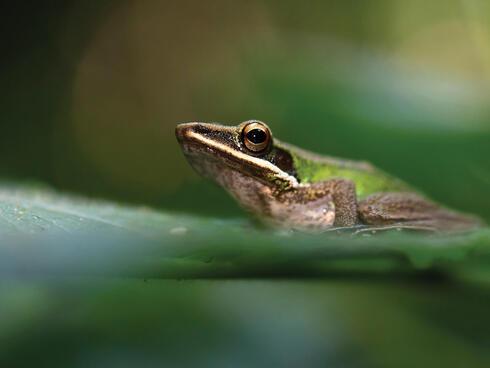 Green frog on a leaf