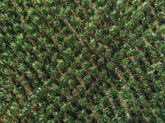 Aerial photo of palm field