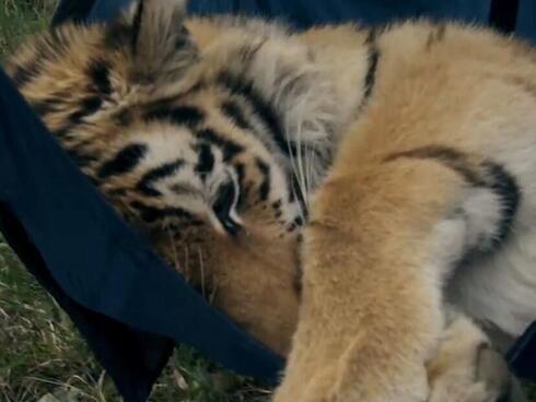Saikhan amur tiger Amur Tiger Centre
