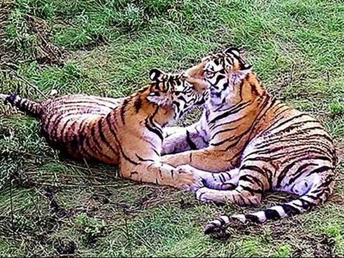 Saikhan and Lazovka at tiger center 2 Yulyia Fomenko