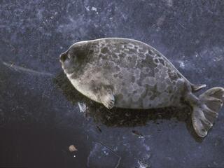 A pregnant Saimaa ringed seal