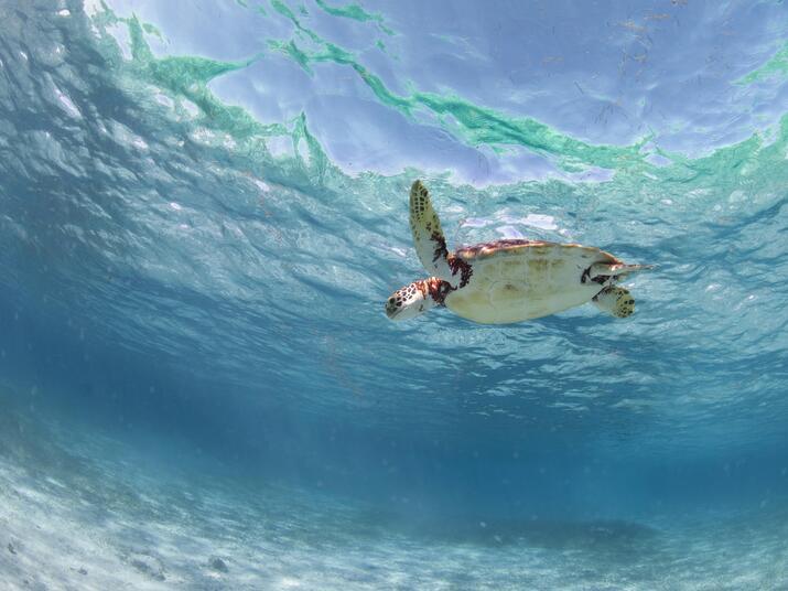 sea turtle swimming in Belize