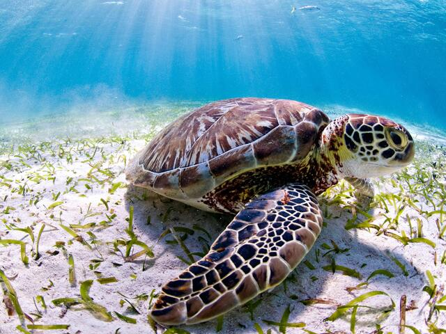 Sea turtle seen while scuba diving at Hol Chan Marine Reserve. Ambergris caye, Belize, Central America.