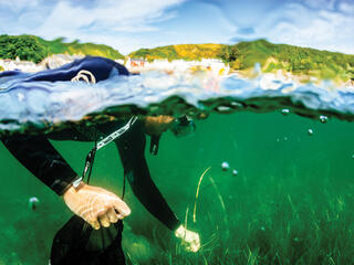 Snorkeler on surface of water collecting seagrass seeds
