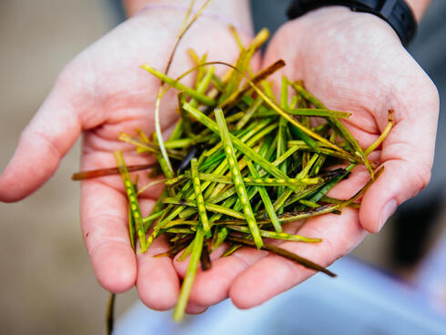 Seagrass in hands