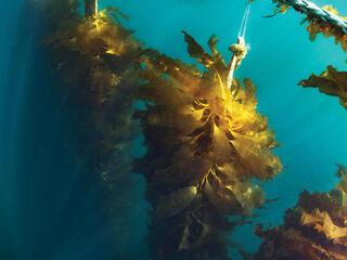 Seaweed underwater