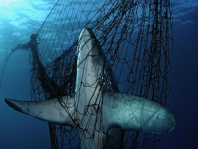 shark caught in net