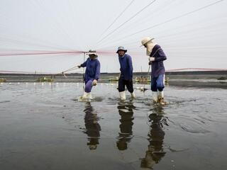 farming shrimp