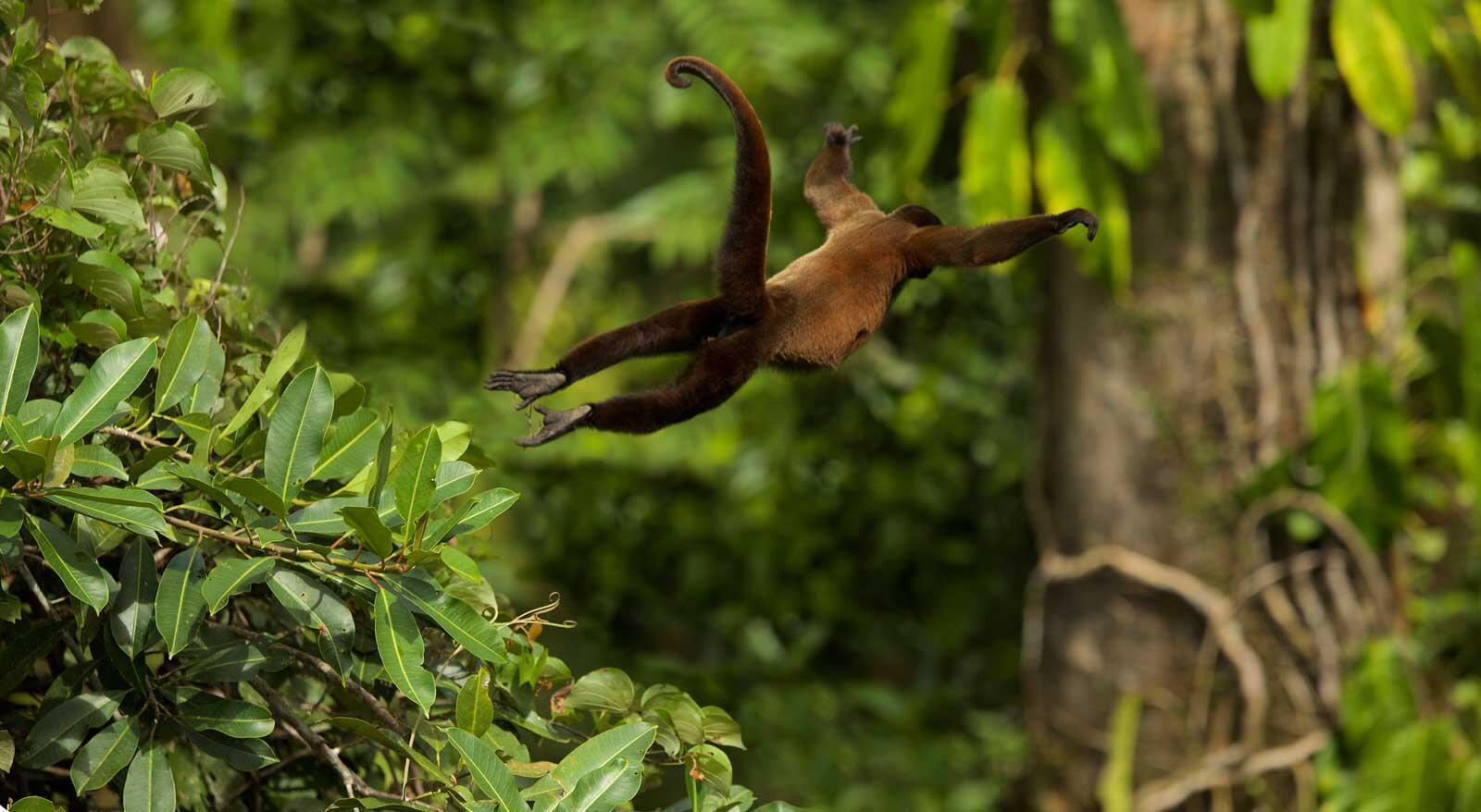 Silvery woolly monkey jumping