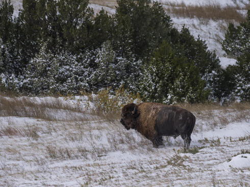 Single bison in the snow