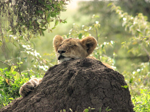 A sleeping lion cub with its head resting on a rock