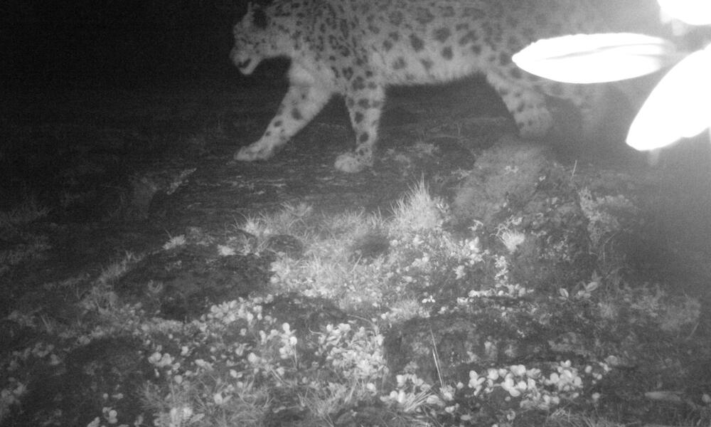 snow leopard caught by camera trap