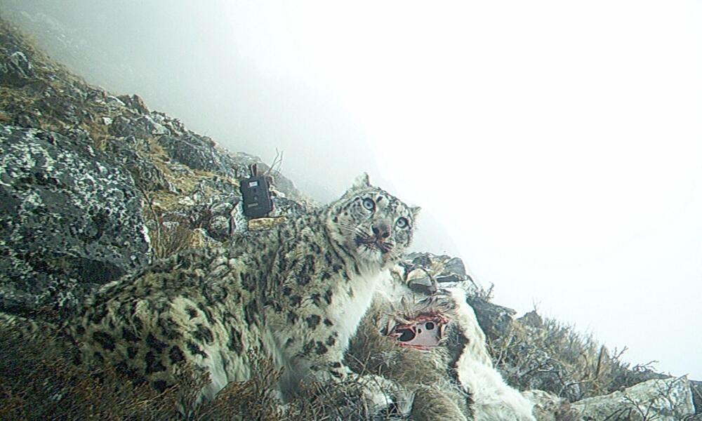 Snow Leopard Feeds