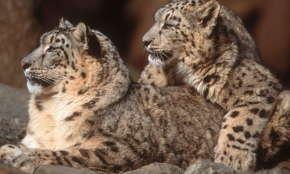 Snow Leopards are Critically Endangered and listed on CITES Appendix II.