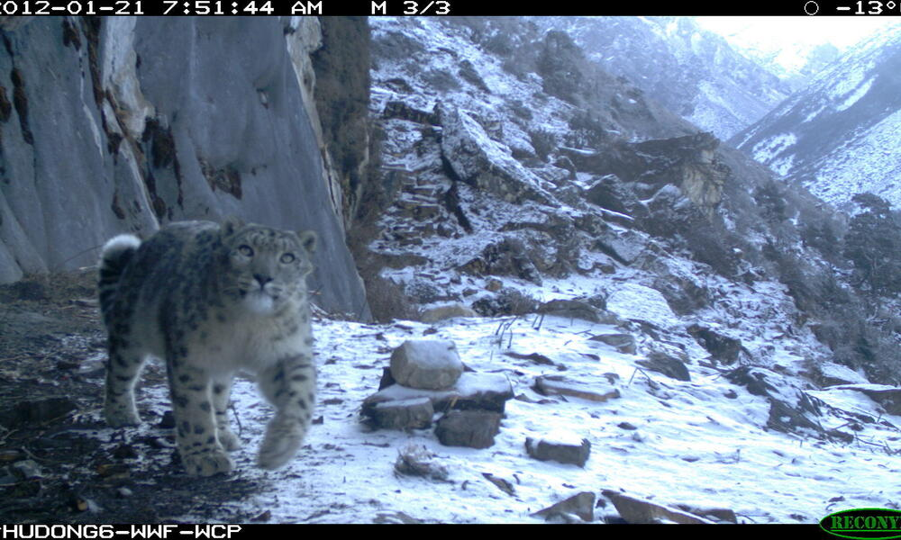 Snow leopard in Bhutan