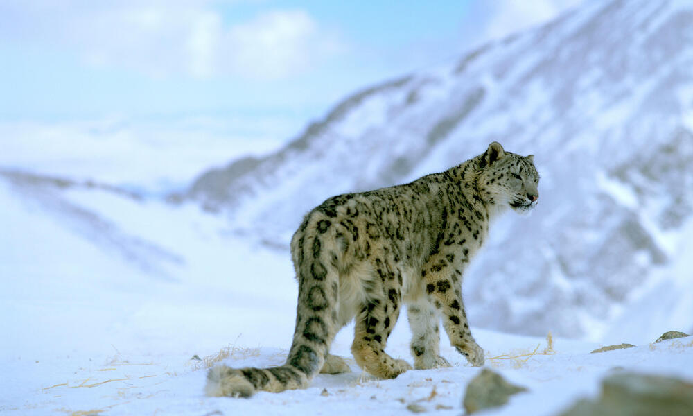 A snow leopard in snow covered mountains.