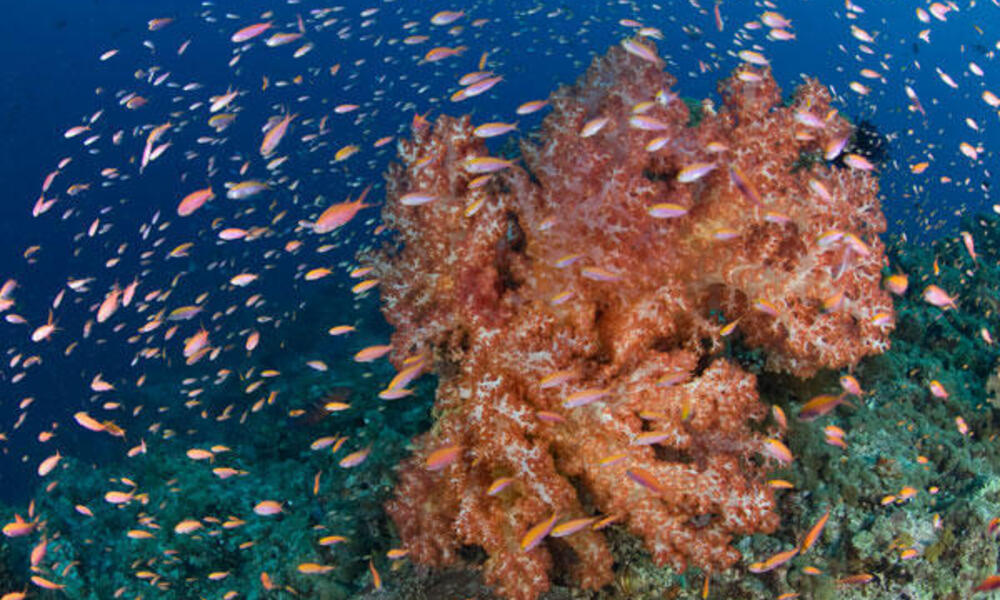 Soft coral
