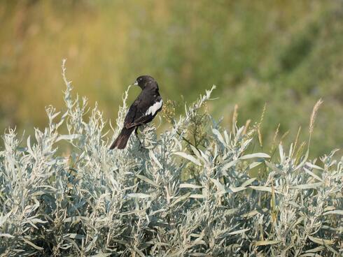 A black songbird sits on shrubs on a sunny day