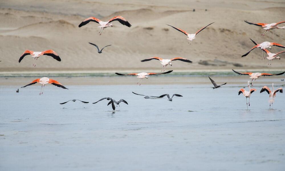 South American flamingos Paracas reserve, Peru
