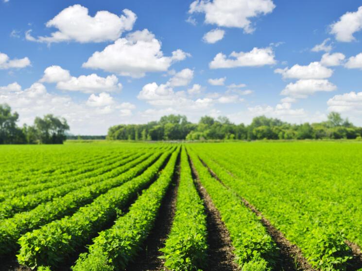 Rows of soy fields