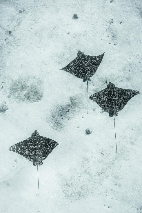 Three spotted eagle rays swim above the sandy ocean floor in Mexico