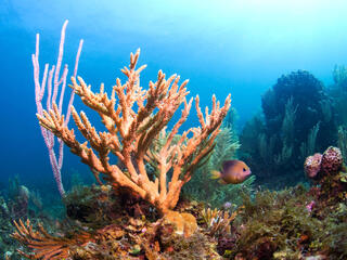 Staghorn Coral Antonio Busiello WW1105624